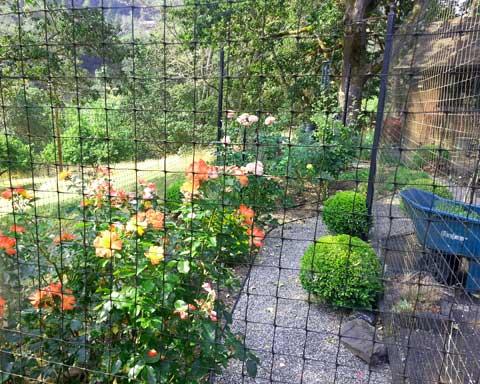 roady-garden-roses