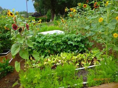 Roth-sunflowers